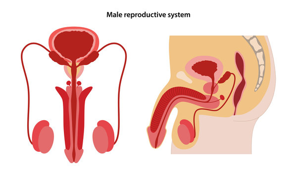 Male reproductive system. Anterior and lateral views. Vector illustration in flat style over white background.