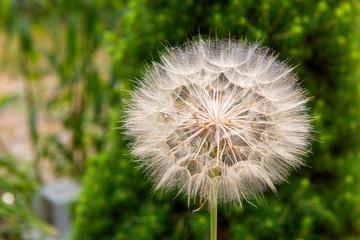 blowball, single dandelion in the garden