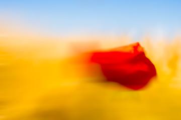 Kornfeld mit Mohnblüte im Wind