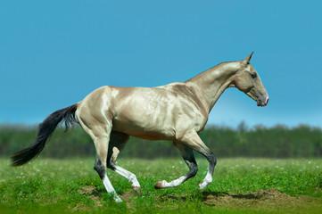 shining golden akhal-teke horse runs free in green summer field