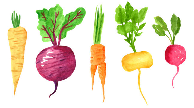 Set of different taproot vegetables, hand drawn watercolor illustration. Parsnip, beetroot, carrot, turnip, radish. Can be used for menu and recipe design.