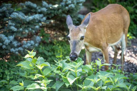Close-up of white-tailed deer in garden eating plants.