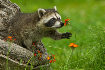Northern Raccoon reaching for a flower taken in central MN under controlled conditions. Wall mural