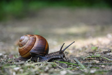 Big snail in shell crawling. Curious snail in the garden