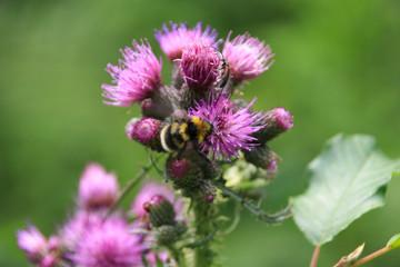 Beautiful nature (a bumblebee on a thistle) along the hikingtrail to Filzmoos Moor in the holiday destination Wildschönau - Niederau, Tyrol - Austria