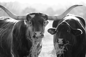 Wall Mural - Funny face on cows while eating hay in pasture, black and white.