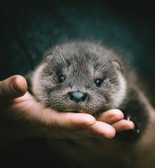 An orphaned European otter cub on hands