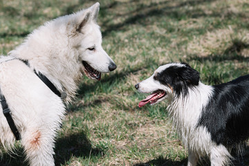 Dogs Playing Outdoor