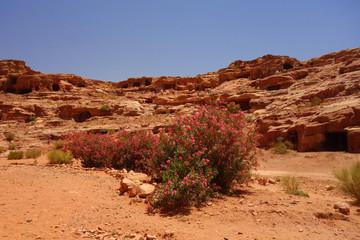 Różowy kwitnący krzew w Petra Jordania - fototapety na wymiar