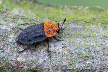 a carrion beetle - Oiceoptoma thoracica