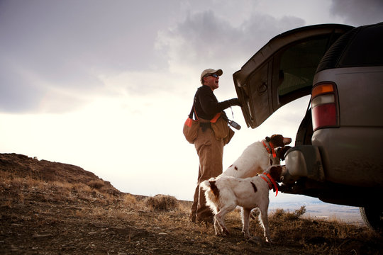 Hunting dogs getting into truck