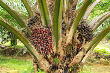Close view of oil palm tree top with fruit