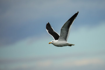 Kelp gull flying at Taiaroa Head, Otago Peninsula, New Zealand.
