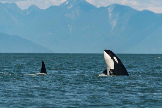 Killer whale spy hop