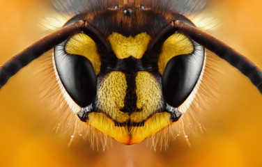 Foto auf Acrylglas Bienen Extreme sharp and detailed study of wasp head