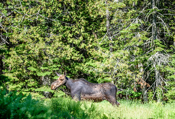 Female Eastern Moose (Alces alces americana) Standing in a Wooded Pasture in Rangeley Maine