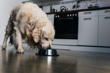 adorable golden retriever dog eating pet food from metal bowl at home