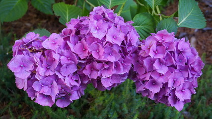 Foto op Plexiglas Hydrangea Beautiful Hydrangea serrata flowers close up. Common names Mountain hydrangea and Tea of heaven.