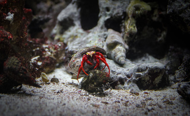 Hermit crab red color in shell at bottom of sea