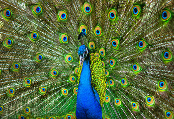 Fotobehang Pauw beautiful peacock