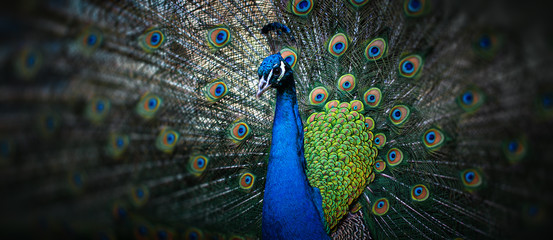 Foto op Textielframe Pauw beautiful peacock
