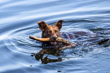 Schwimmender Hund im Wasser