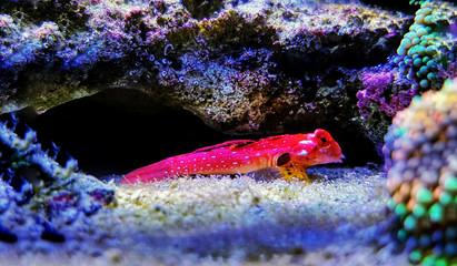 Ruby red dragonet saltwater fish