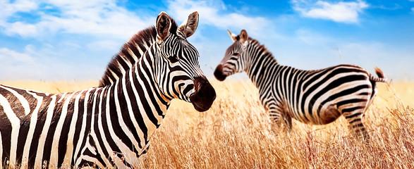 Wall Mural - Zebras in the African savannah. Serengeti National Park. Africa. Tanzania. Wide format.
