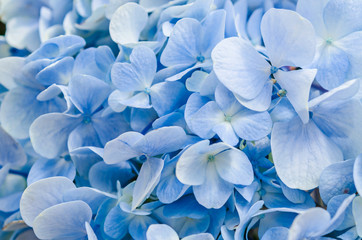 Natural hydrangea flowers background.
