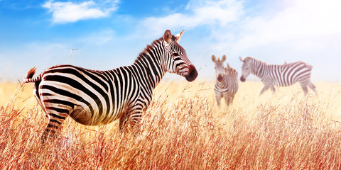 Wall Mural - African zebras in the  savannah. Serengeti National Park. Africa. Tanzania. Wide format.