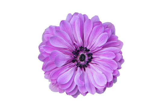 Big purple flower isolated on white background