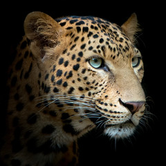 Photo sur Aluminium Leopard Tiger