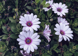 white with violet center Osteospernum or African daisies