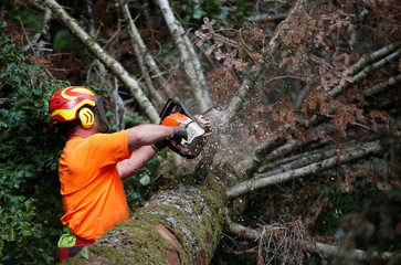 A woodcutter prunes the branches of a felled tree turned red because of drought in the Vosges montains near Masevaux