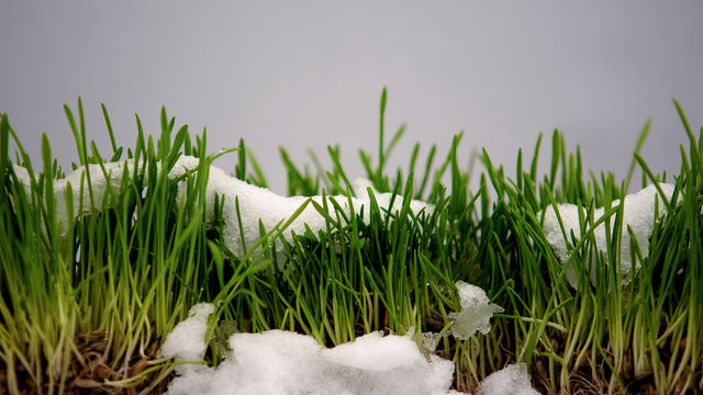 Snow melting and showing fresh green grass, springtime coming, beautiful nature