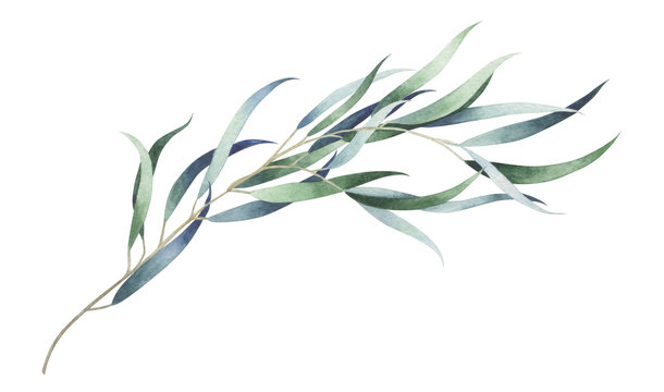 Eucalyptus branch isolated on white. Watercolor hand drawn illustration.