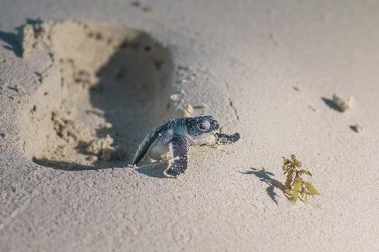 COZUMEL, Mexico: baby sea turtle trying to climb a human footprint on the sand