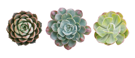 Poster Cactus Top view of small potted cactus succulent plants, set of three various types of Echeveria succulents including Raindrops Echeveria (center) isolated on white background with clipping path.