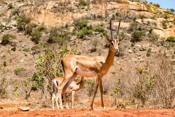Antilope Impalas (Aepyceros)