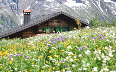 Carpet of wild alpine flowers in front of a chalet tucked in the Bernese Alps near the mountain village of Murren