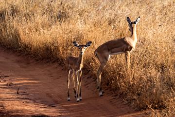 Wall Murals Antelope Antilope Impalas (Aepyceros)