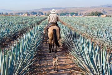 Farmer on his horse walking in his agave seed. Wall mural