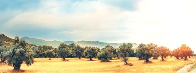 Foto op Aluminium Olijfboom Panoramic view of Olive Farm.