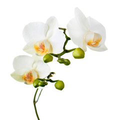 Orchid twigs isolated on white background.
