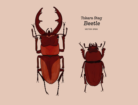 Tokara red stag beetle , hand draw sketch vector.