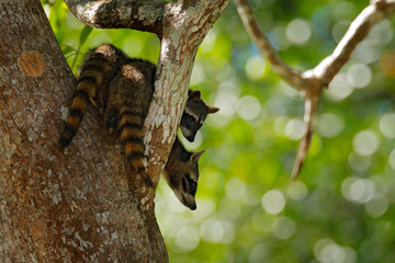 Raccoon, Procyon lotor, hidden in the green forest vegetation in National Park Manuel Antonio, Costa Rica. Wildlife scene from tropic nature. Animals in the dark forest. Cute raccoon on the tree.