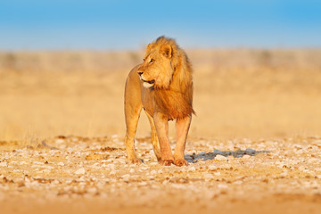 Lion walk. Portrait of African lion, Panthera leo, detail of big animals, Etocha NP, Namibia, Africa. Cats in dry nature habitat, hot sunny day in desert. Wildlife scene from nature.