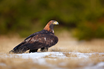 Wall Mural - Golden Eagle feeding on kill, first snow in nature. Brown big bird in the nature habitat, Germany.