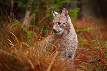 Foto op Plexiglas Lynx Eurasian lynx walking. Wild cat from Germany. Bobcat among the trees. Hunting carnivore in autumn grass. Lynx in green forest. Wildlife scene from nature, Czech, Europe.