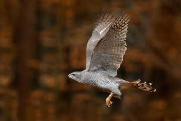 Wall Mural - Goshawk flying, bird of prey with open wings with evening sun back light, nature forest habitat, Germany. Wildlife scene from autumn nature. Bird fly landing pn tree trunk in orange vegetation.